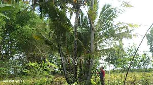 Warga melihat dari dekat keanehan kelapa berbatang delapan di Dusun Pencil, Desa Boto, Baturetno. Foto Radar Solo/JPNN.com