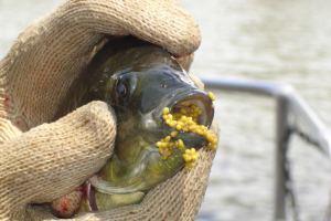 Inilah salah satu jenis ikan invasif