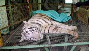 Harimau ini mati digigit ular kobra hitam