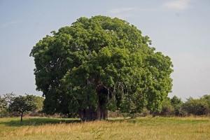 Salah satu bentuk pohon Baobab. Foto: wikipedia