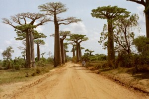 salah satu jenis pohon baobab. Foto: wikimedia