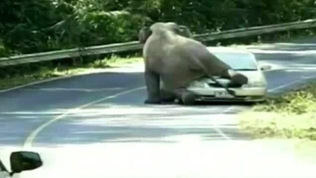 Gajah kawin dengan mobil