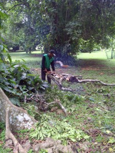 Petugas Kebun Raya Bogor sibuk memangkas dahan pohon