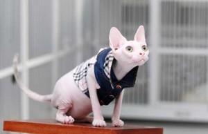 kucing-sphinx