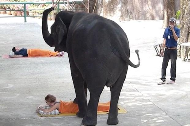 unik-gajah-gajah-di-thailand-jadi-pemijat-turis-L4z