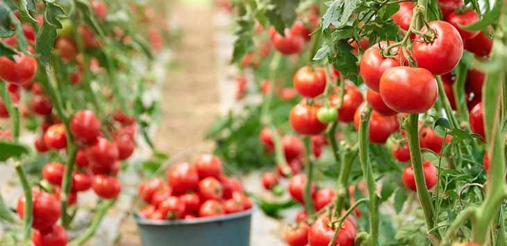 Manfaat Tomat Bisa Menghilangkan Jerawat dan Pori Pada Wajah